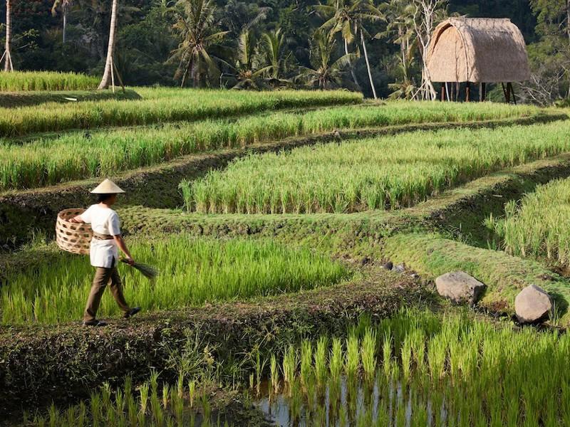 Ricefield klein